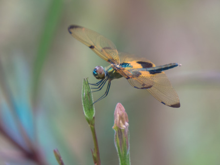 Orange wings with chocolate brown wingtips dragonfly against ancanthaceae bush background  Stock Photo