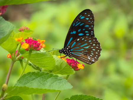 compound eyes: Dark Blue Tiger Butterfly on Lantana flower