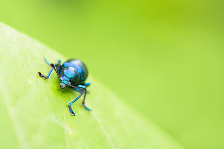appendages: Metalic blue beetle on green leave. Stock Photo