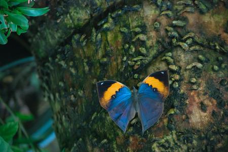 appendages: Indian Oakleaf butterfly.