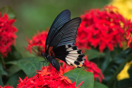 appendages: Female Great Mormon Butterfly on flowers Stock Photo