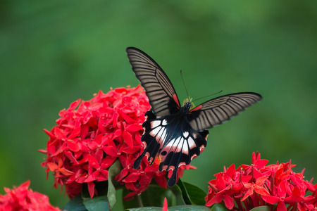 appendages: Female Great Mormon Butterfly, f.distantianus. Stock Photo