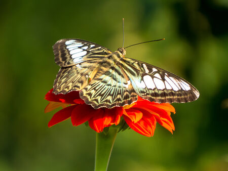 appendages: Clipper Butterfly against green backgroune.