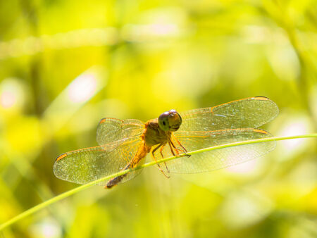 appendages: Orange dragonfly on grass stem with green bokeh background.
