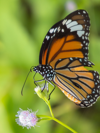 appendages: Common Tiger Butterfly. Stock Photo