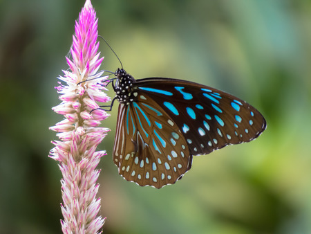 appendages: Dark Blue Tiger Butterfly. Stock Photo