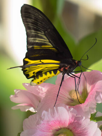appendages: Male Golden Bird Wing butterfly on Hollyhock flower.
