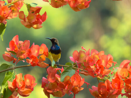 chinese hat: Male Olive-Backed Sunbird on Chinese Hat flowers branch. Stock Photo