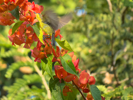 chinese hat: Female Olive-Backed Sunbird on Chinese Hat flowers branch. Stock Photo