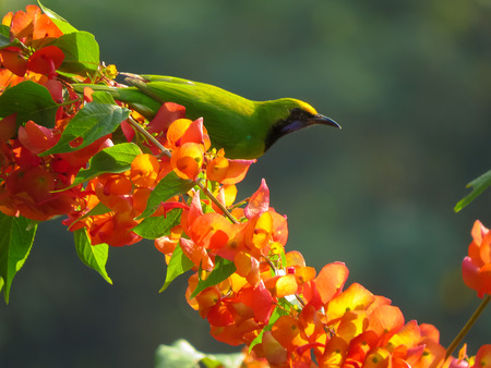 chinese hat: Golden-Fronted Leafbird on Chinese Hat flower branch. Stock Photo