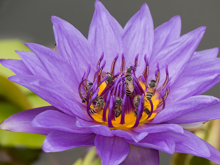 appendages: Bees in purple lotus. Stock Photo