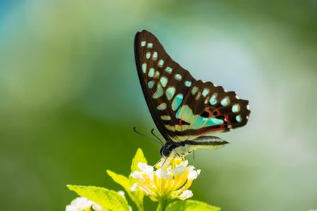 lantana: Common Jay butterfly Graphium arycles on Lantana flower.