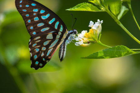 spotted flower: Spotted Jay butterfly Graphium arycles on Lantana flower. Stock Photo