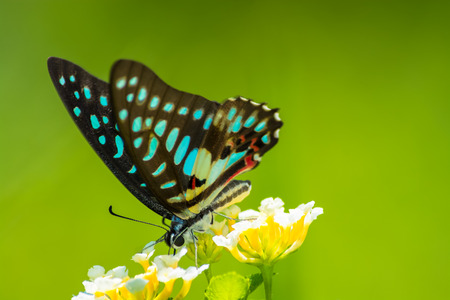 Tìm hiểu Bướm - Page 7 40816242-common-jay-butterfly-graphium-arycles-on-lantana-flower