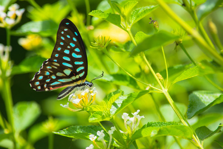 Spotted Jay butterfly Graphium arycles on Lantana flower. photo