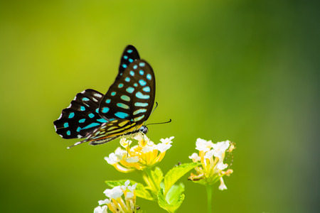 appendages: Spotted Jay butterfly Graphium arycles on Lantana flower. Stock Photo
