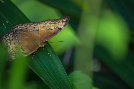 appendages: Little Yeoman butterfly Cirrochroa surya on green leave.