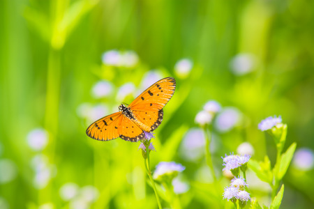 appendages: Tawny Coaster butterfly Acraea violae on wild weed flower. Stock Photo