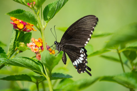 appendages: Common Mormon butterfly Papilio palytes on Lantana flower. Stock Photo