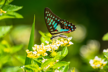 Common Jay butterfly Graphium arycles on Lantana flower. photo