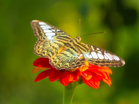 appendages: Clipper butterfly, Parthenos sylvia on Zinnia flower with green background. Stock Photo