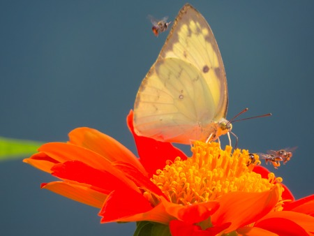 emigrant: Lemon Emigrant butterfly, Catopsilia pomona on Zinnia flower and blue background.