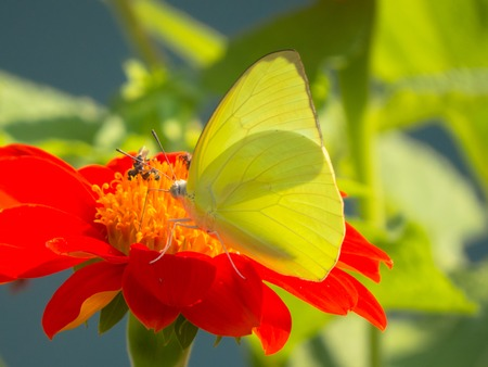 emigrant: Female Lemon Emigrant butterfly, Catopsilia pomona on Zinnia flower against bushy background. Stock Photo