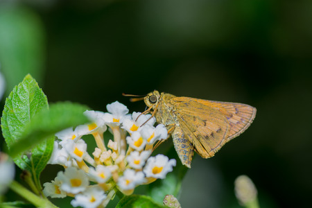 confucian: Confucian Dart butterfly, Pantanthus confucius on Lantana flower.