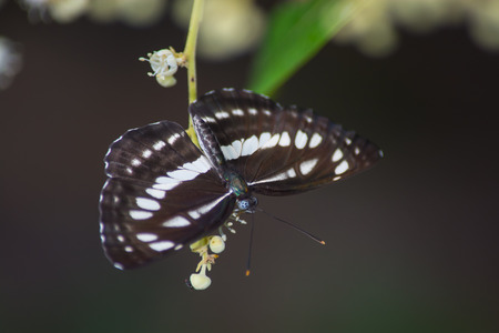 euphoria: Broad-banded Sailor butterfly, Neptis sankara on Longan flower, Euphoria longana. Stock Photo
