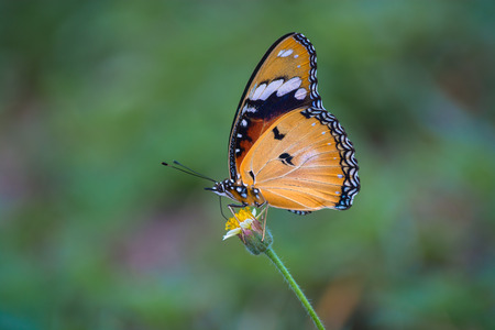 appendages: Plain Tiger butterfly, Danaus chrysippus on wild flower against blur background.