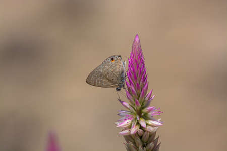 appendages: Pointed Ciliate Blue butterfly, Anthene lycaenina on wild flower. Stock Photo