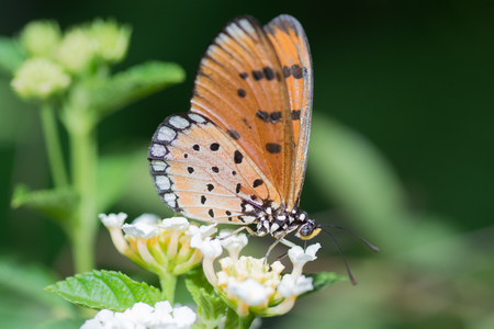appendages: Tawny Coster butterfly, Arcaea viloae on Lantana flower.