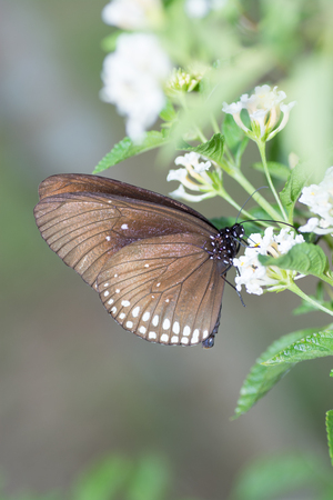 appendages: Common Indian Crow butterfly, Euploea core, on Lantana flower.