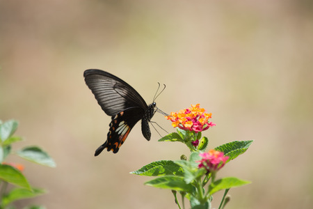 appendages: Banded Mormon butterfly, Papilio pitmani on Pink Lantana flower. Stock Photo