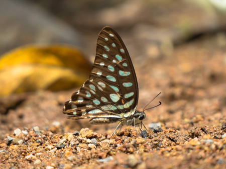 appendages: Spotted Jay butterfly, Graphium doson on gravel background, Stock Photo