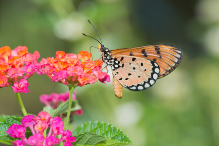 appendages: Tawny Coster butterfly, Arcaea viloae on Pink Lantana flower.