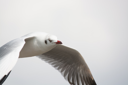 samut prakan: Migratory seagulls at Bangpu pier in Samut Prakan district, Thailand. Stock Photo
