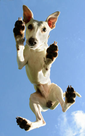 White Whippet male dog seen from below, standing on a plexiglass plate. Reklamní fotografie - 84263382