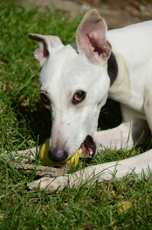 White whippet dog plays with yellow ball. Banco de Imagens