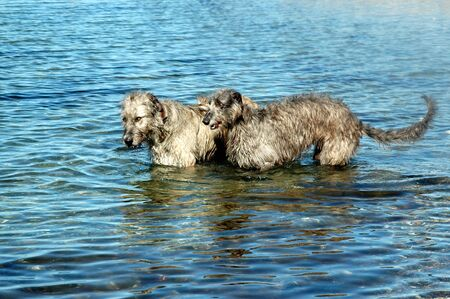 Two large dogs, a scottish deerhound and an irish wolfhound in the water on a suny day.