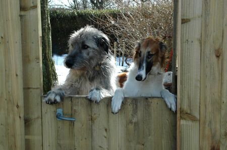 Irish Wolfhound looks out from a semi-door on which they rest their paws