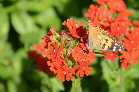 Painted Lady butterfly sits on red Lychnis Chaledonica plant Stock Photo