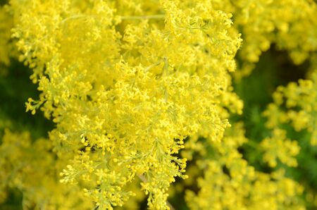 Yellow Lady's Bedstraw plant in bloom (lat: Galium verum) Stock Photo - 135865762