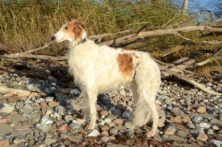 Borzoi in golden and whitecolors stands on a stoney beach
