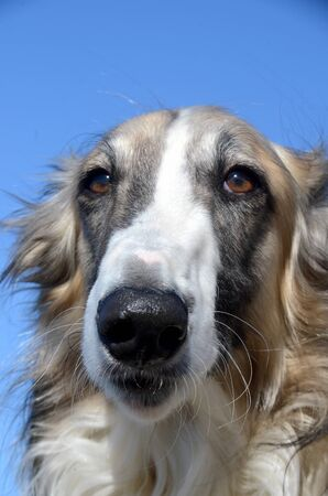 Face portrait of a borzoi dog
