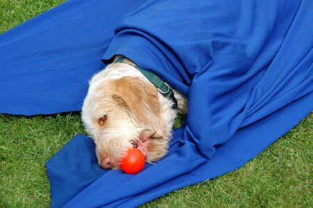 Spinone dog lays partly hidden under a blue cloth and plays with a ball
