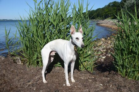 White whippet dog standing on a natural beach.