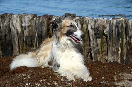Borzoi lays in front of a decayed groyne with water in the background.