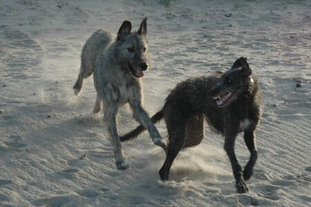 Irish Wolfhound and Scottish Deerhound play at a beach