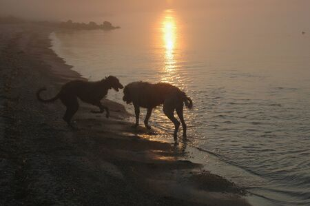 Irish Wolfhound and Scottish Deerhound seen as silhouettes at a beach in morning light.